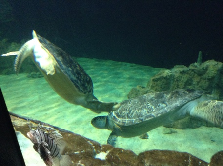 Acquario livorno arriva tartaruga 39 ari 39 toscana for Tartaruga da acquario