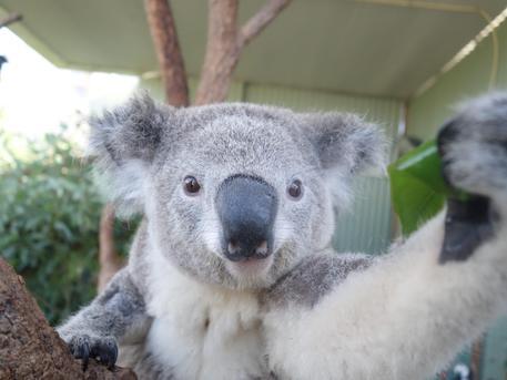 Koala selfie at Wild Life Sydney Zoo [ARCHIVE MATERIAL 20140403 ] (foto: ANSA )