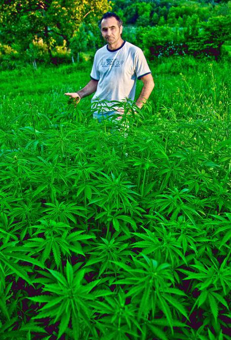 Nella sua azienda agricola, Antonino Chiaramonte coltiva la Cannabis per uso industriale (FOTO FRANCESCO ARENA) (foto: ANSA)