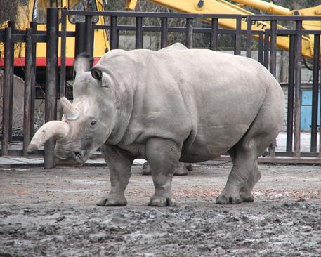 Un rinoceronte bianco del Nord © Ansa