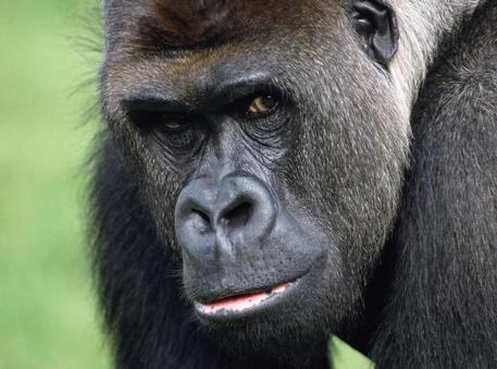 Bimbo fra i gorilla, salvato