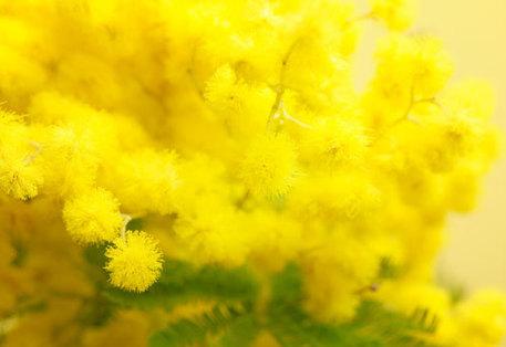 una mimosa vista da molto vicino i fiori sono piccoli e simili ad un pon pon di colore giallo