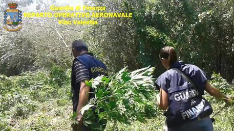 Droga: scoperta piantagione in Calabria, 7.500 fusti canapa © ANSA