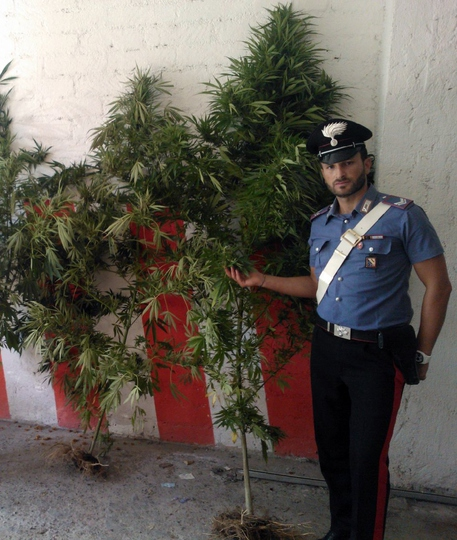 Cc scoprono coltivazione cannabis piante alte 2 metri for Piante da giardino alte 2 metri
