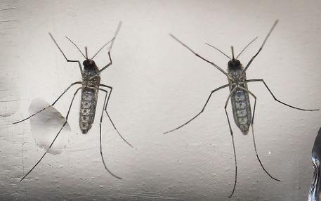 Zika: creata zanzara con batterio resistente a virus