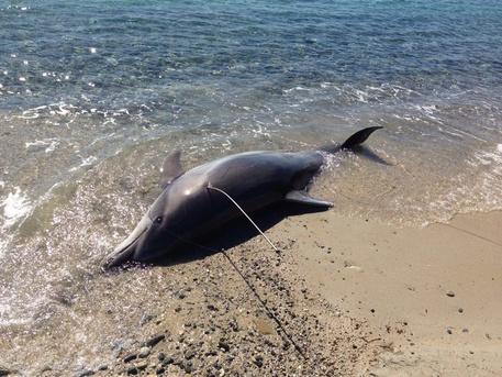 Delfino ucciso con arpione in Sardegna