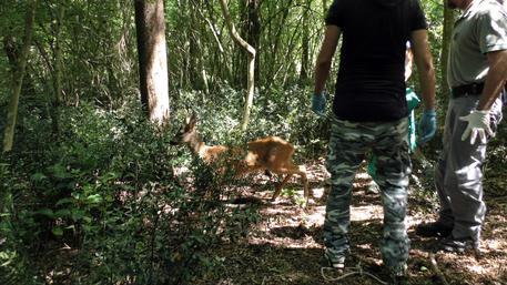 Animali Selvatici In Città, Arriva Cfs   Marche   ANSA.it