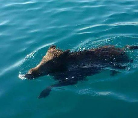 Cinghiale fa bagno al mare in calabria cronaca - Bagno al mare ...