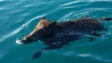 Cinghiale fa bagno al mare in calabria calabria - Bagno al mare in gravidanza ...