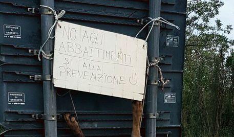 Lupo ucciso e scuoiato appeso cartello