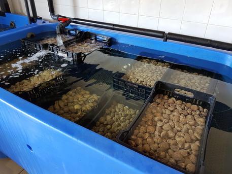 Frutti mare pericolosi: maxi sequestro in Campania