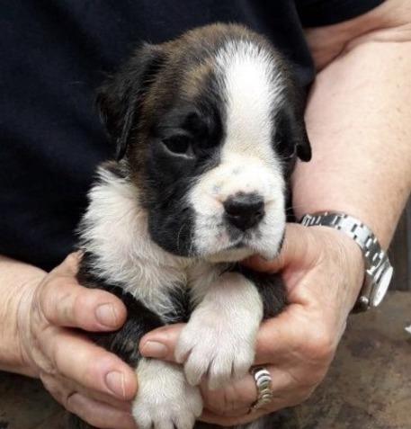 Scandicci, furto in casa: rubati anche due cuccioli di boxer