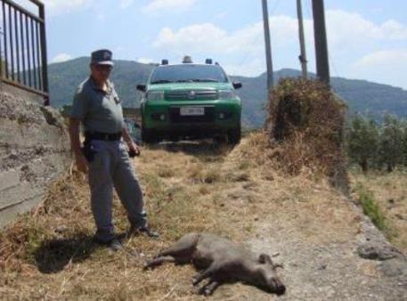 Cinghiale ucciso con crudeltà, 4 denunce - Calabria - ANSA.it