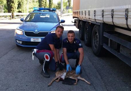 Capriolo investito sull'A1: il cucciolo salvato dalla Polstrada