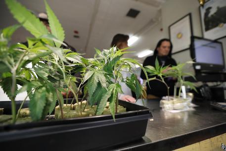 Canada: sì del Parlamento alla legalizzazione della marijuana
