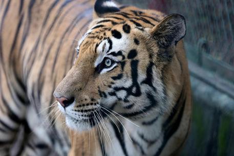 India, eliminata la tigre che ha sbranato 13 umani