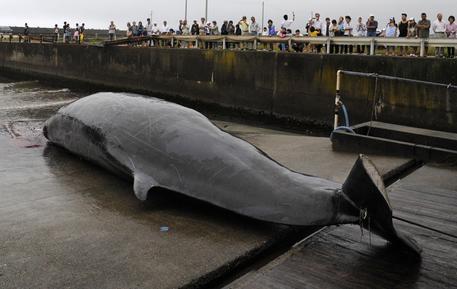 Balena trovata a 15 metri dalla spiaggia