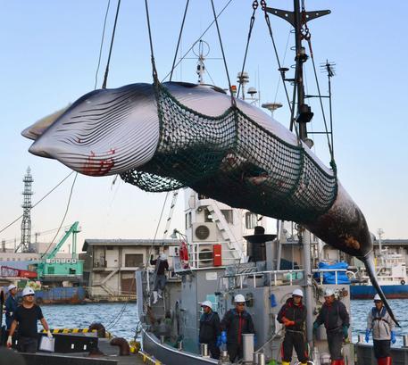 Le prime balene cacciate in Giappone per scopi commerciali dopo 31 anni