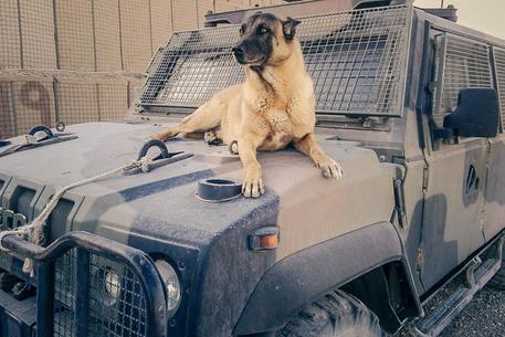 E' morto Jimmy, il veterano dei cani anti-esplosivo