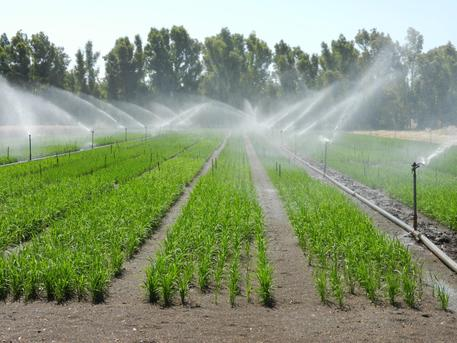 Sassari nuova tecnica coltivazione riso sardegna for Irrigazione per aspersione