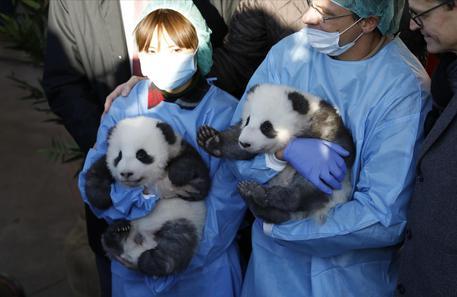 Germania: hanno un nome i panda gemelli dello zoo di Berlino