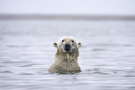 Villaggio assediati degli orsi polari: