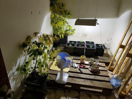 Mini serra marijuana in casa, arrestato