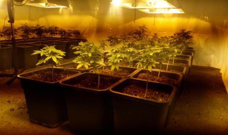 Blitz antidroga, serra marijuana in casa