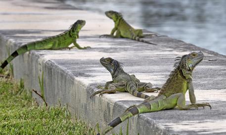 Iguana di 1,2 metri a spasso in paese Puglia ANSA.it