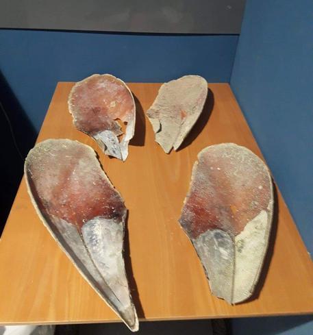 Sardegna, Pinna Nobilis in valigia