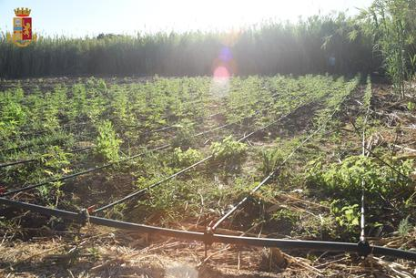 Oristano, maxi piantagione di marijuana