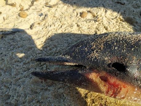 Delfino morto in spiaggia sud Sardegna