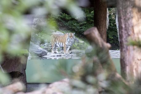 Svizzera: donna uccisa da una tigre allo zoo di Zurigo