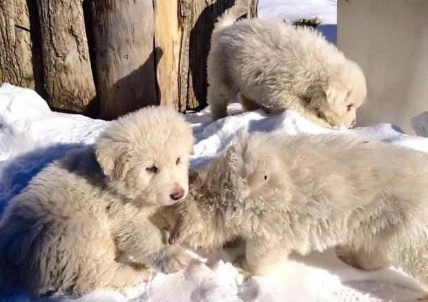 I cuccioli del Rigopiano (dalla pagina Facebook dell'Hotel) (ANSA)
