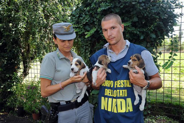 Il sequestro dei beagle, salvati e affidati a tante famiglie