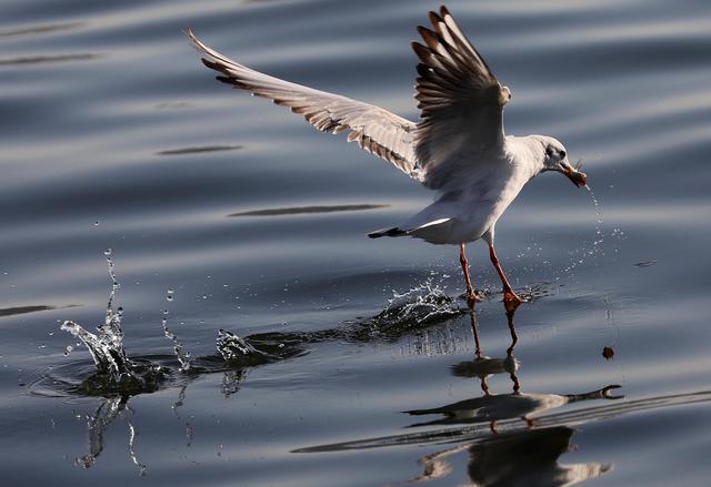 Gabbiano cattura un pesce nelle acque di gaza curiosita for Un pesce allevato in acque stagnanti