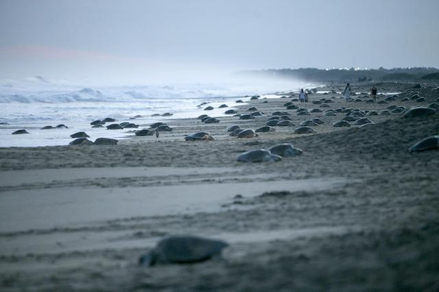 Messico tartarughe in spiaggia per la deposizione delle for Deposizione uova tartarughe terrestri