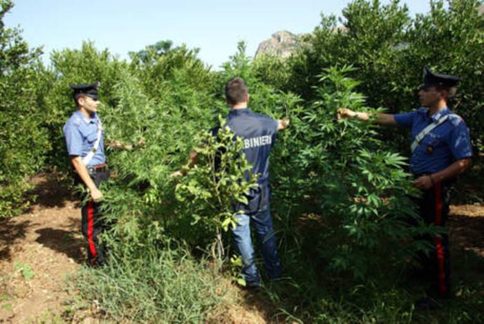 Scoperta piantagione cannabis in Puglia