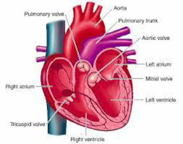 Over One Million Italians Have Heart Valve Problems Isc English