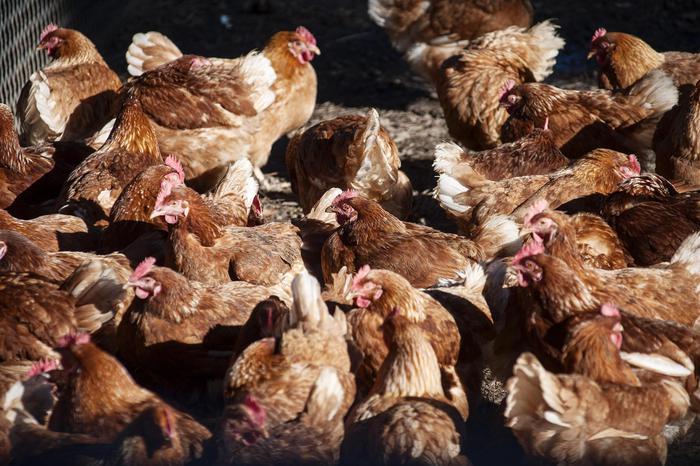 Camst rinuncerà a uova galline in gabbia