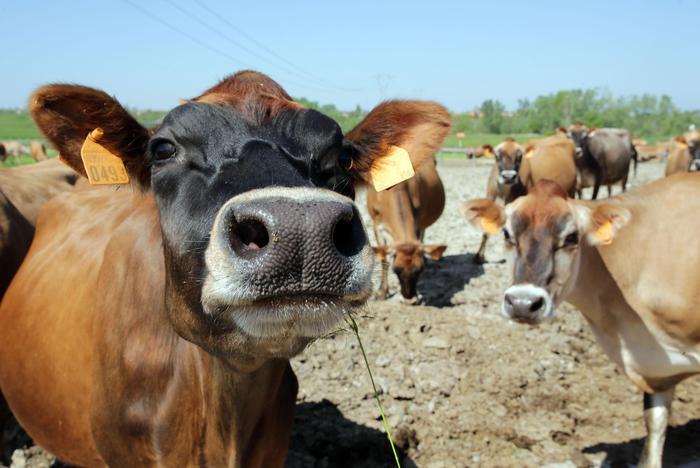 Montefortino, 200 vacche tornano a casa