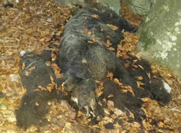 Ambiente: orso trovato morto in Trentino, stessa zona altri