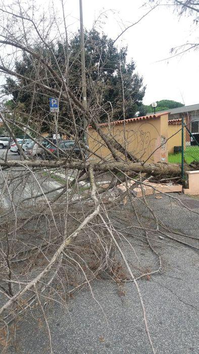 Crolla albero in scuola, nessun ferito