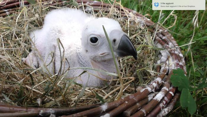 Fuori pericolo pulcino avvoltoio reale