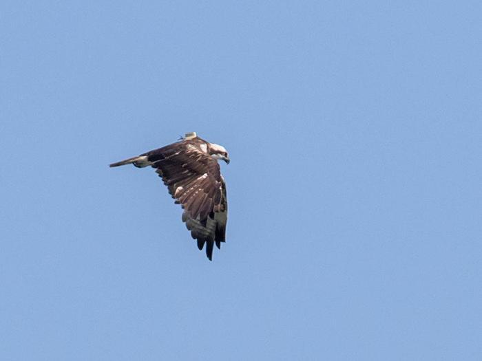 Falco pescatore fotografato al Trasimeno