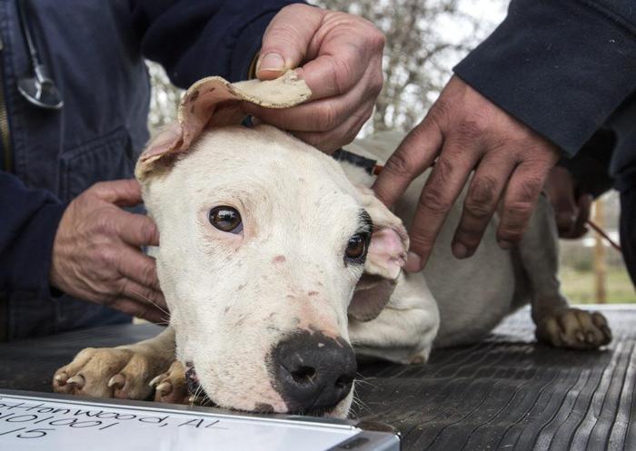 Bimbo sbranato dai dogo argentini: petizione per salvare i cani$