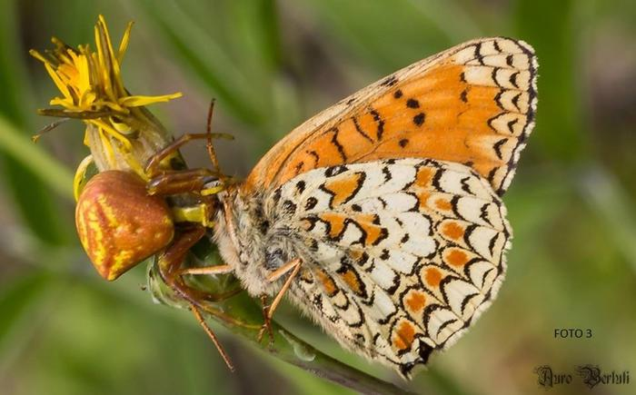 Nuova farfalla rinvenuta al Conero