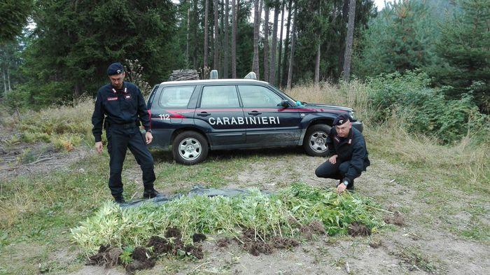 Piantagione di cannabis a Cornedo