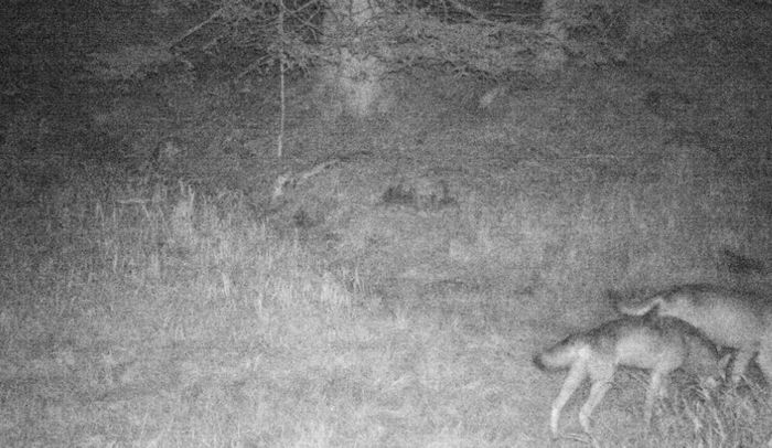Avvistata coppia di lupi in Val di Non