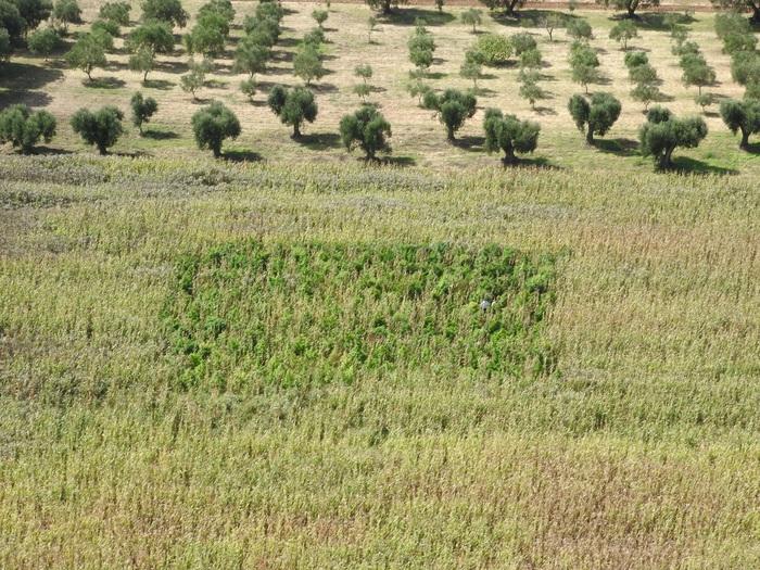 Piantagione marijuana in campo granturco